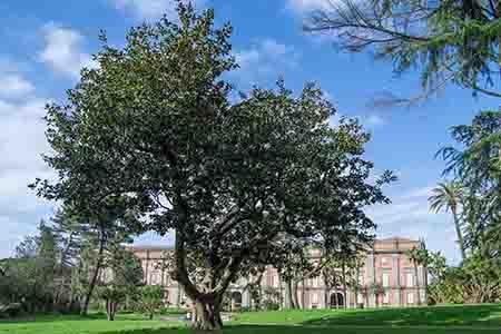 Magnolia Capodimonte Foto Alessio Cuccaro