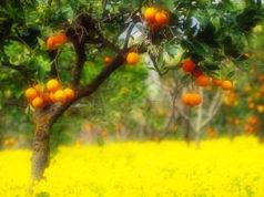profumo di mandarini