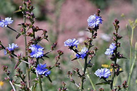 Chicorium intybus