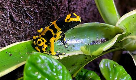 Dendrobates leucomelas – Rana freccia dalle bande gialle