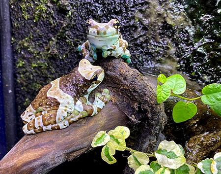 Trachycephalus resinifictrix  Milk frog
