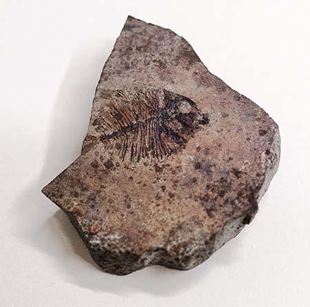 Pesce fossile di Capo d'Orlando