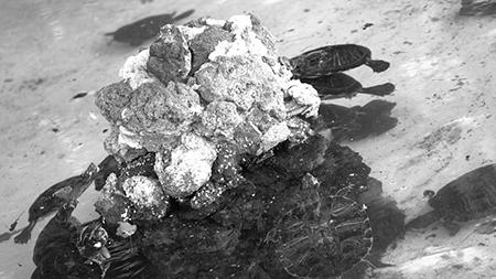 Real Bosco di Capodimonte, operazione di pulizia vasca delle tartarughe