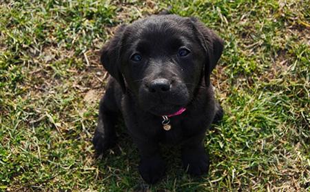Cucciolo di Labrador