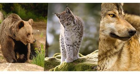 Grandi carnivori: orso, lupo e lince